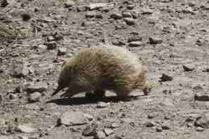 An echidna on the road near Saintys Creek Cottage