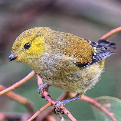 Bruny Island Birdlife