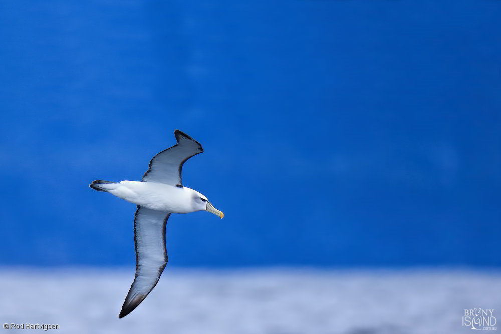 A shy albatross in flight