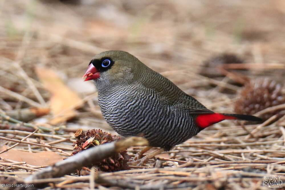 The Beautiful Firetail