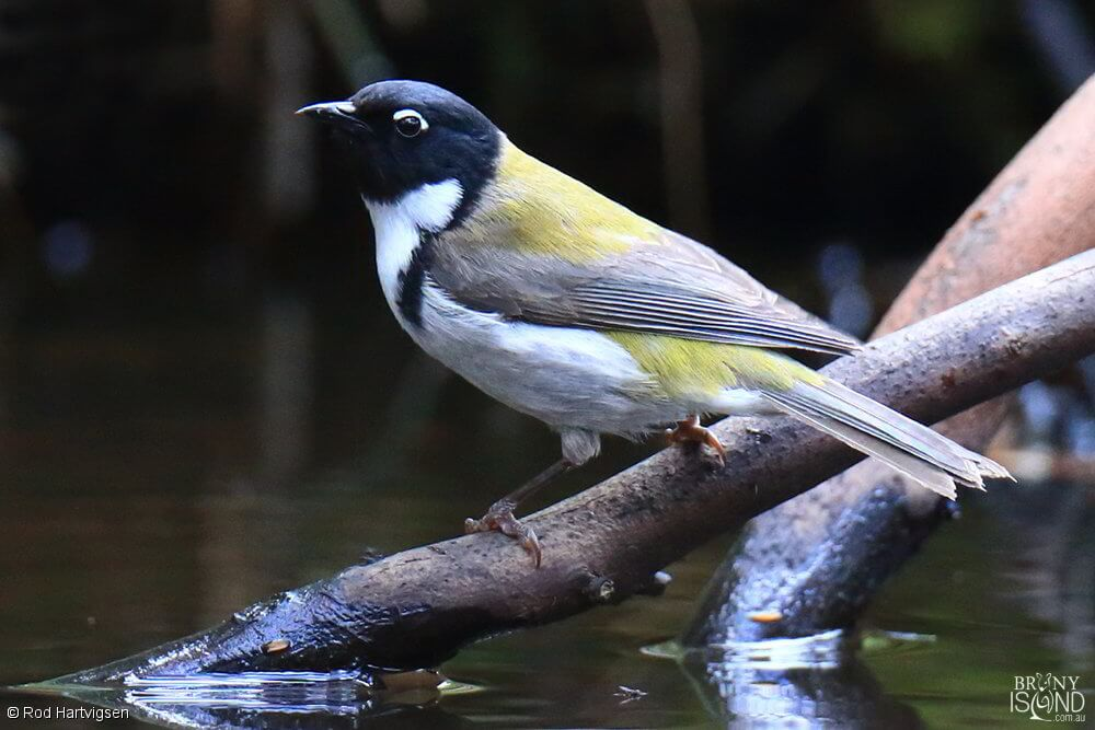 Black-headed Honeyeater
