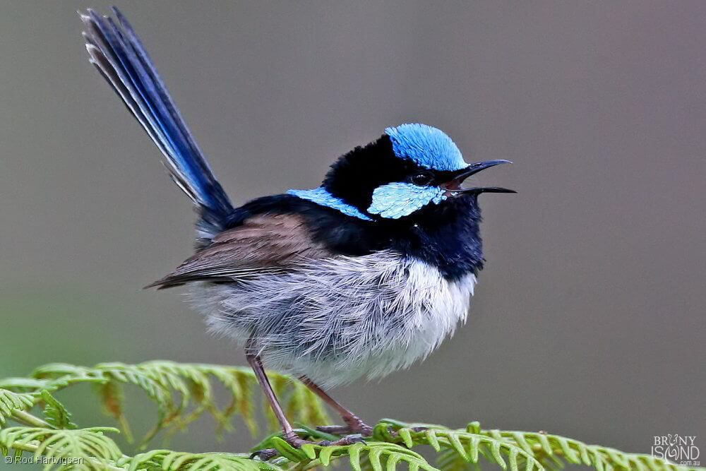 A male Superb Fairy-wren, easily distinguished by its bright blue colours