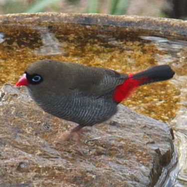 Beautiful Firetail Finch
