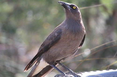 Grey currawong