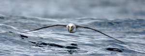 Fantastic bird photography with the albatross in flight over water