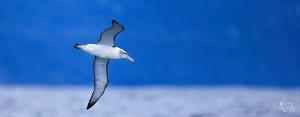 Great close-up shot of an albatross in flight