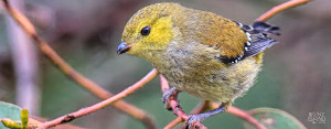 The endangered forty spotted pardalote bird, one of Australia's rarest birds, can be found on Bruny Island