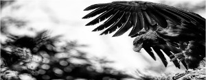 Stunning photo of the wedge tailed eagle in black and white. The wedge tail eagle can often be seen around the island.