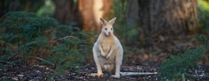 The white wallaby is a native Australian marsupial with a small healthy population found on Bruny Island