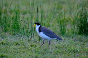 The masked lapwing, also known as the plover, with its distinctive yellow mask