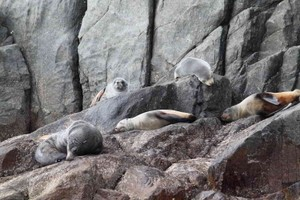 Some seals lazing around on the rocks. Seals are quite common in the waters around the island.