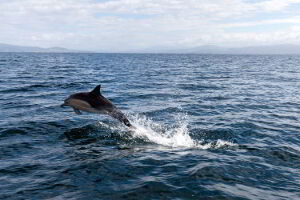 Great shot of a dolphin in the waters off Bruny Island
