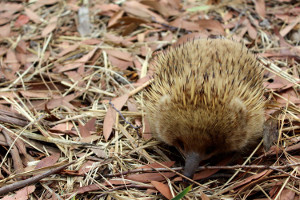The echidna, a native Australian mammal, can be found on the island