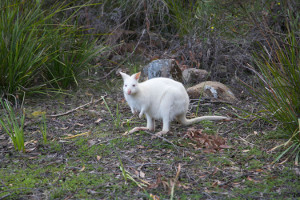 The white wallaby is a native Australian marsupial found in a small population on Bruny Island