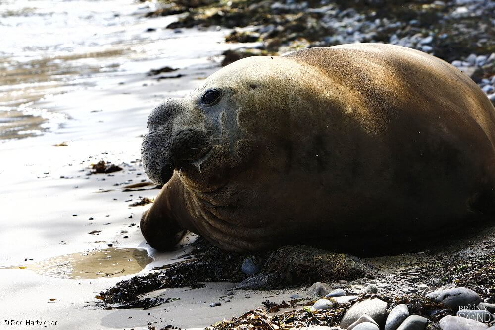 A Southern Elephant Seal