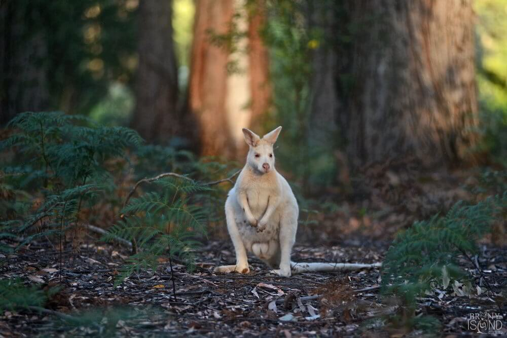 A white wallaby on Bruny Island