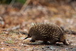 Side view of the echidna, a native Australian monotreme