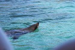 Fur seal in water